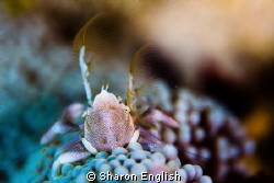 Porcelain Crab hiding in a white anemone. by Sharon English